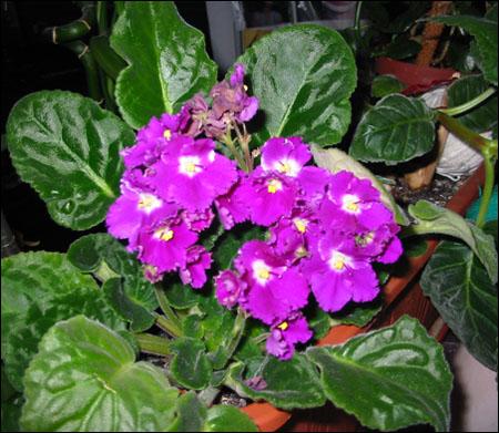 2014 violete 1w
